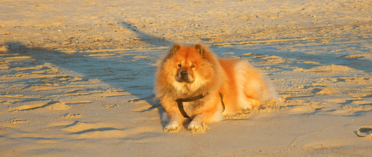 Tory the chow