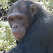 Chimpanzee in Africa