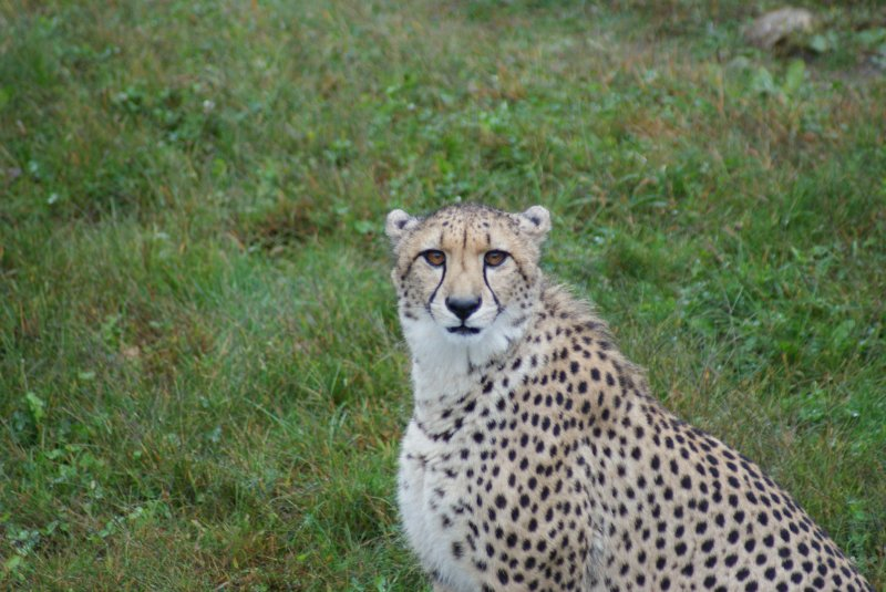 Cheetah at The Wilds