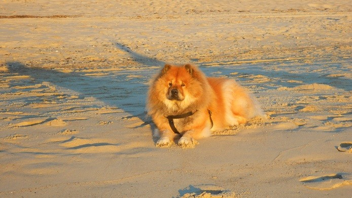Tory the chow and cancer survivor