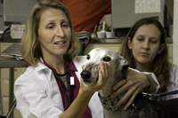 Dr. Luci Dimick examines a greyhound with the help of a student