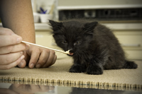 Kitten during a laboratory procedure