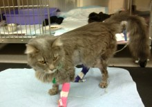 Phoebe the cat during her recovery after she was treated for lily poisoning.