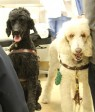 From left: Service dogs Sheba, 4, and Glory, 10